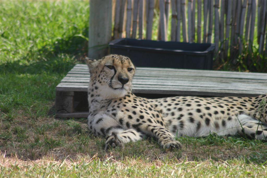 Cheetah at Spier