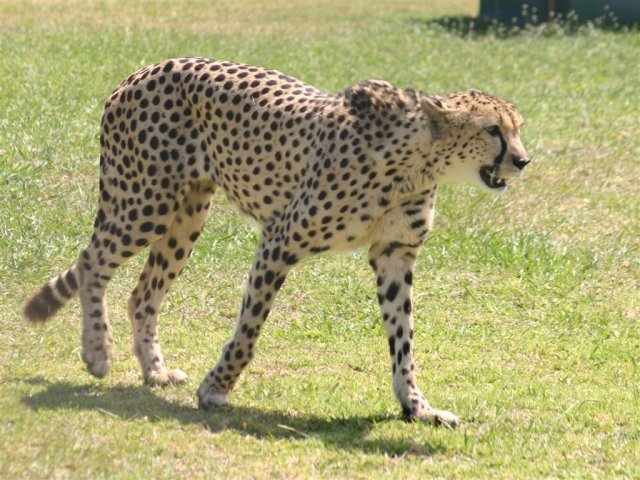 Cheetah at Spier