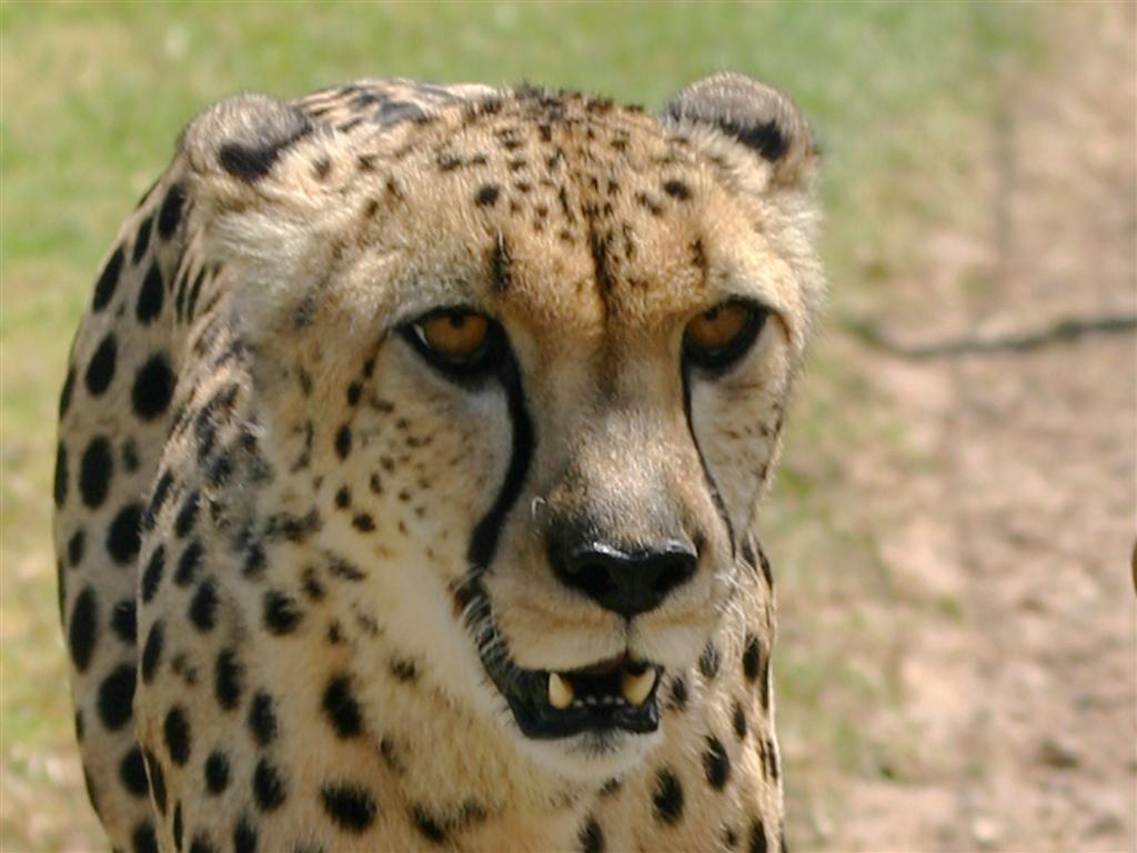 Nyala - Cheetah at Spier