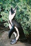 Calling Jackass Penguin