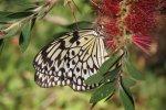Highlight for Album: Butterflies