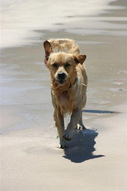 Labrador in surf