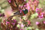 Lesser Double-collared Sunbird_9541.jpg