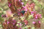 Lesser Double-collared Sunbird_9542.JPG