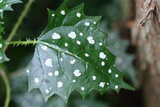White Dot Leaf