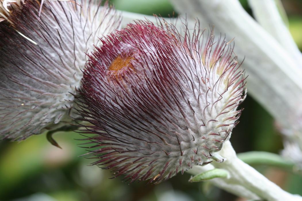 Pin Chusion Protea