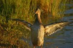 Duck in golden light