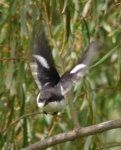 Swallow take off