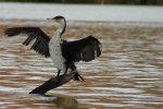Cormorant at Misverstand