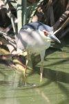Heron - Blackcrowned