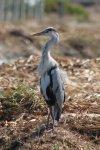 Heron - Grey