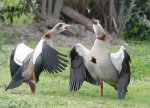 Egyptian Geese sparring