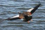 Egyptian Geese - Landing