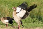 Egyptian Geese - Flapping