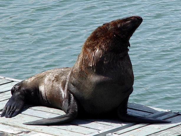 Seal at Cape Town Harbour