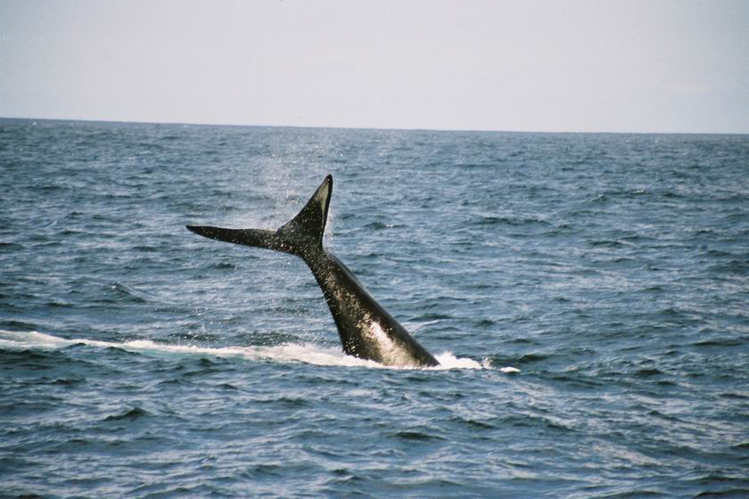 Southern Right Whale tail wave