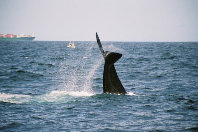 Southern Right Whale splashing