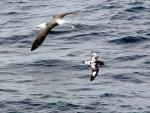 Albatross and Pintado Petrel