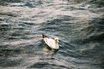 Cape Gannet floating